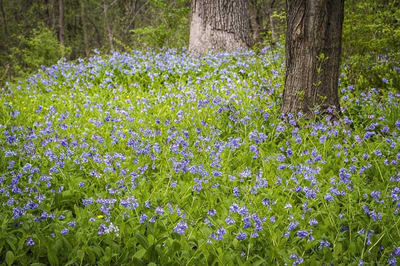 Beautiful woodland flowers such as these bluebells are blooming this week at Reed-Turner Woodland.