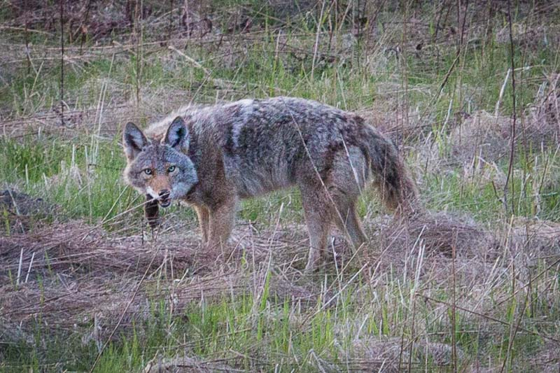 One of our wilder neighbors, caught hunting in our backyard conservancy area, in April of this year.